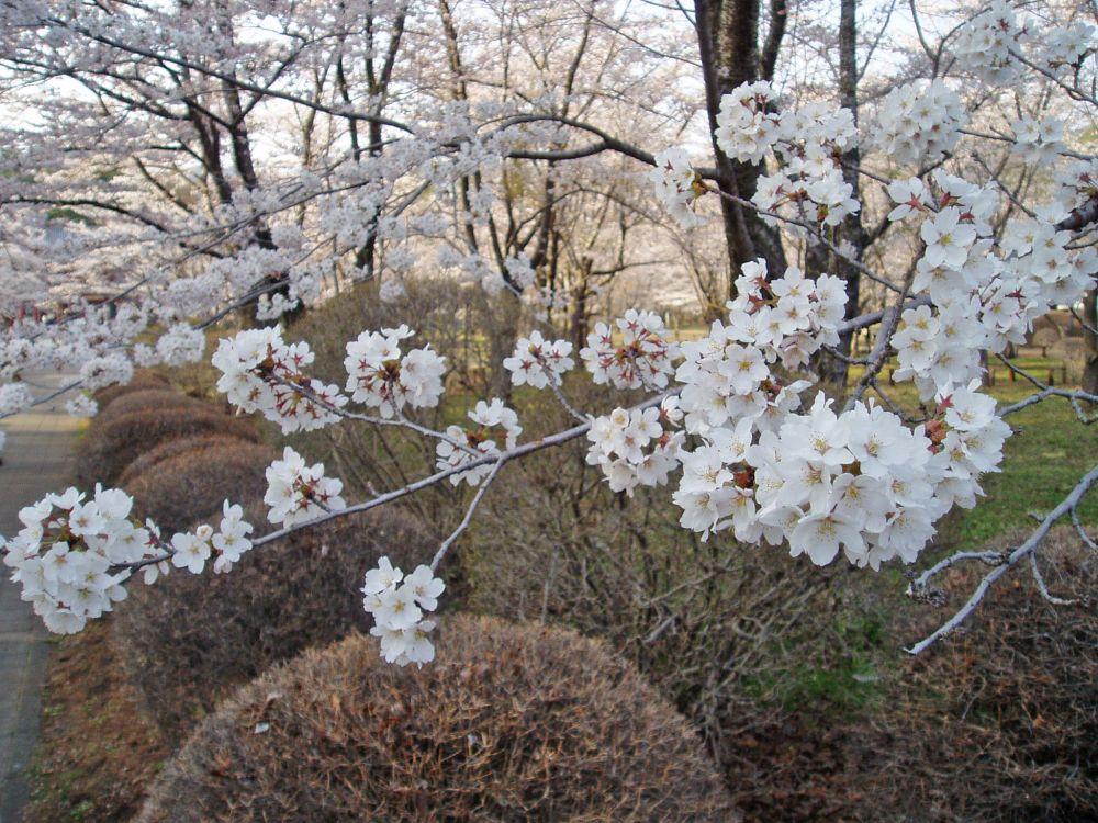 聖光寺千本桜(開花情報Ⅳ)_d0102327_055149.jpg