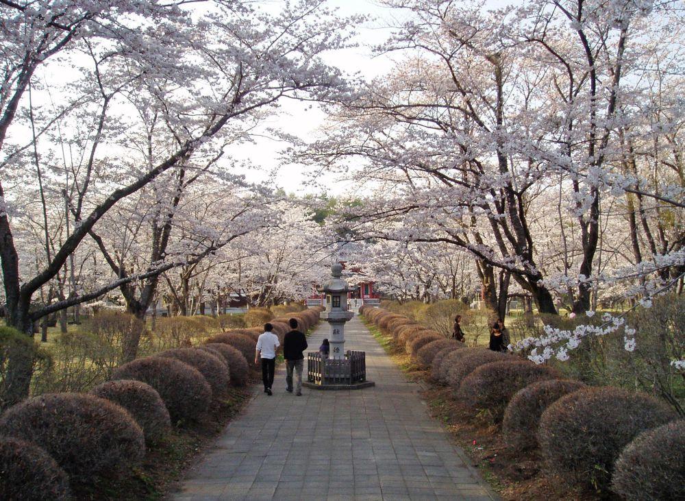 聖光寺千本桜(開花情報Ⅳ)_d0102327_0553110.jpg