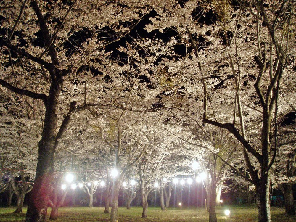 聖光寺千本桜(開花情報Ⅳ)_d0102327_0554732.jpg