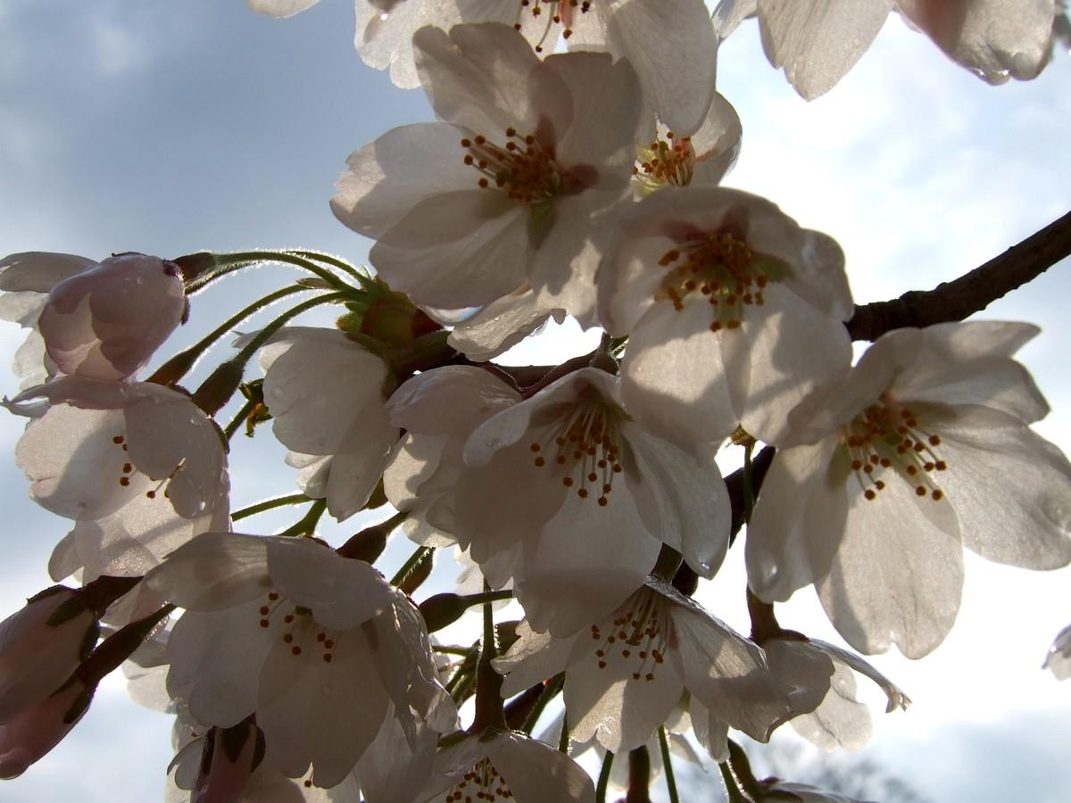鍋倉山は、やはり桜の名所デアル_d0001843_0224427.jpg