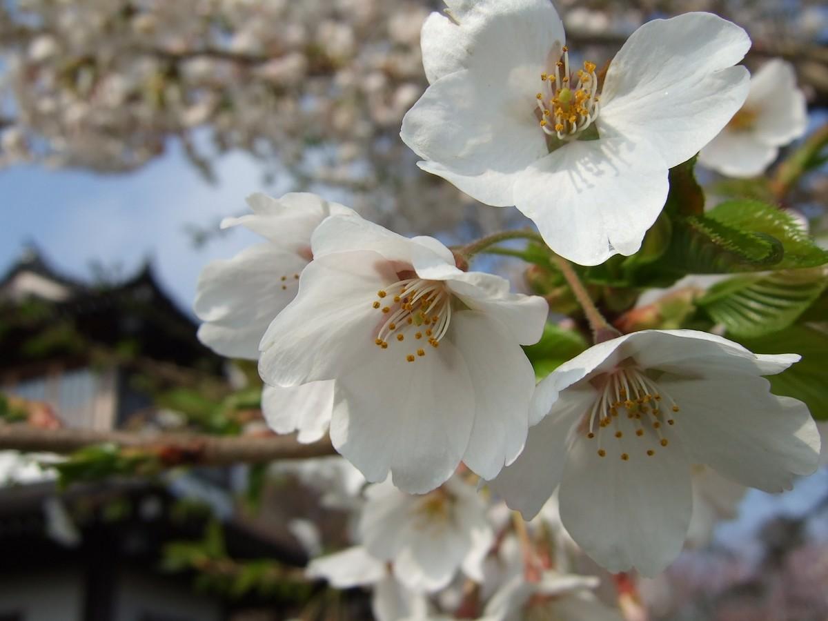 鍋倉山は、やはり桜の名所デアル 其の参_d0001843_12991.jpg