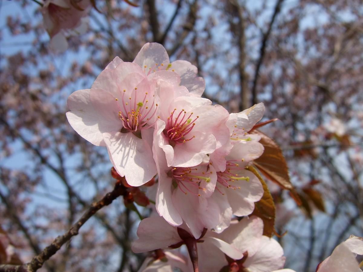 鍋倉山は、やはり桜の名所デアル 其の参_d0001843_134159.jpg