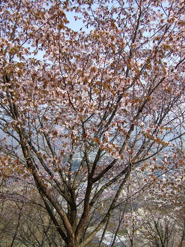 鍋倉山は、やはり桜の名所デアル 其の参_d0001843_20374138.jpg