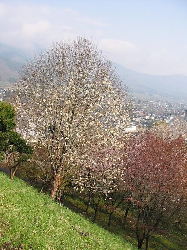 鍋倉山は、やはり桜の名所デアル 其の参_d0001843_20381998.jpg