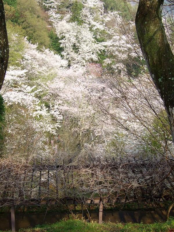 鍋倉山は、やはり桜の名所デアル 其の参_d0001843_23195743.jpg