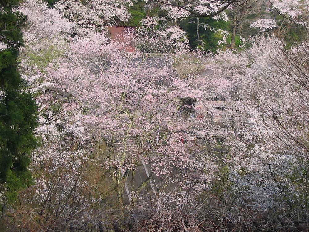 鍋倉山は、やはり桜の名所デアル 其の参_d0001843_23212491.jpg