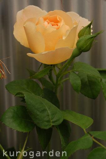 今年初開花です!_e0119151_18243022.jpg