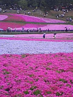 秩父の芝桜_e0013178_1218312.jpg