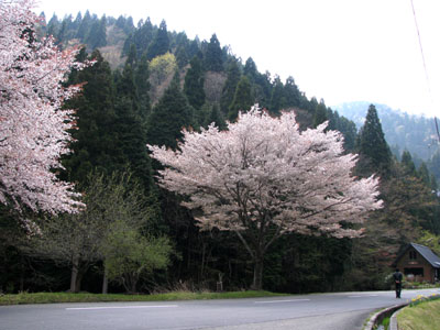 北山 桜花盛り_e0048413_22522828.jpg