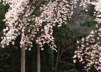 北山 桜花盛り_e0048413_22524783.jpg