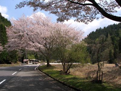 北山 桜花盛り_e0048413_2252885.jpg
