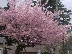 満開の桜_f0146620_23585514.jpg
