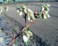 ベリーたちも咲き始め_c0108174_18504225.jpg