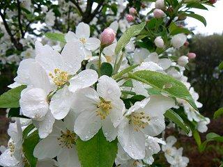 ヒメリンゴの花とズミのつぼみ_f0019247_1610105.jpg