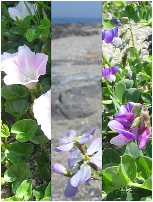 """豊後歳時記・・・海浜の""""春咲小花""""_c0001578_1058125.jpg"""