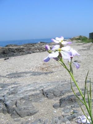 """豊後歳時記・・・海浜の""""春咲小花""""_c0001578_11113847.jpg"""