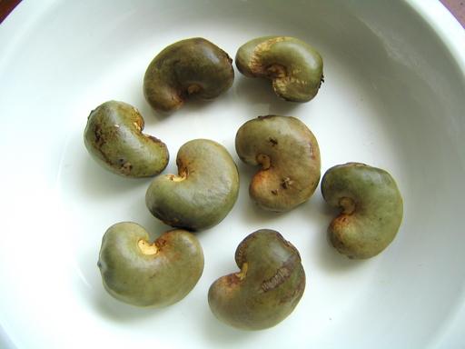 カシューナットノキの種(カシューナッツ), Chashew seeds