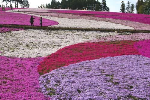 羊山芝桜 2008_e0062530_21413759.jpg