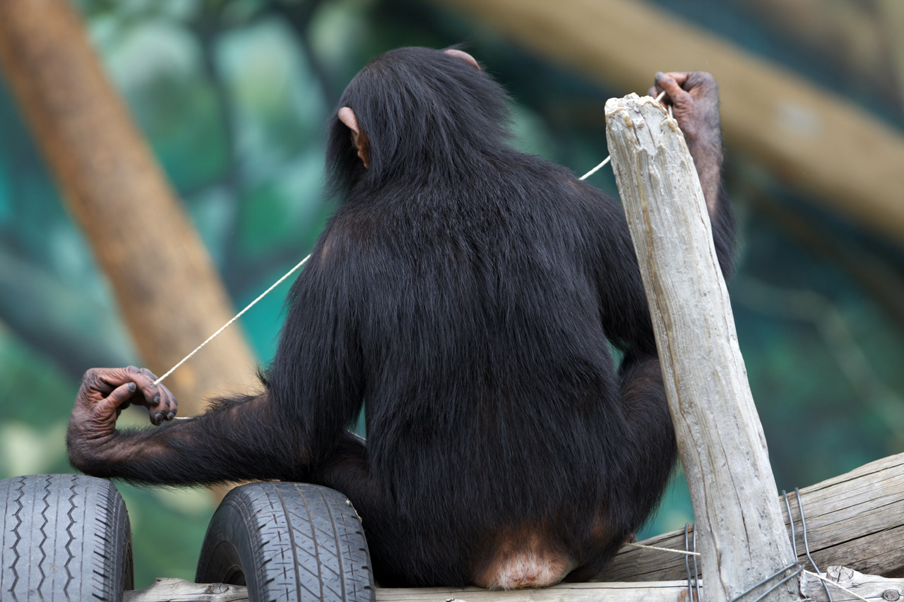チンパンジーの画像 p1_33