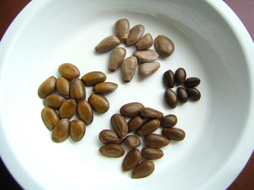 トゲバンレイシとシャカトウとチェリモヤの種の比較, comparing the seeds of soursop, sugar apple, and cherimoya