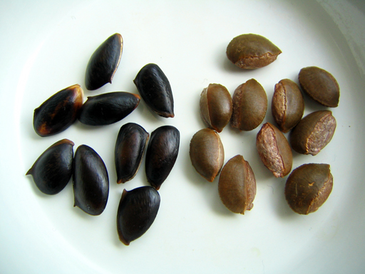 サポジラの種, sapodilla seeds