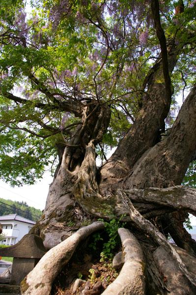 厄神様の藤の木 (寺尾)_e0062530_17262437.jpg