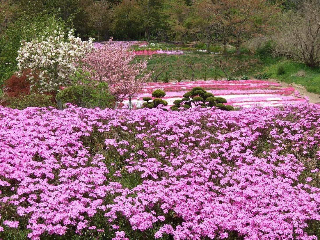 芝桜_d0001843_1515522.jpg