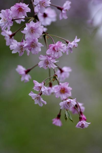 枝垂桜 3_c0155950_22414549.jpg