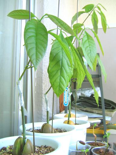 接木したアボカド, grafted avocado trees