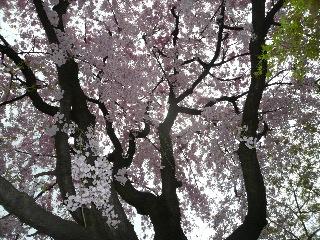 京都府立植物園 バラのチンチン_b0054727_252828.jpg