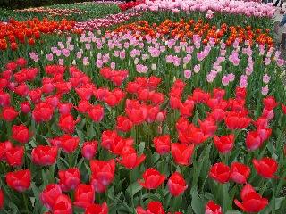 京都府立植物園 バラのチンチン_b0054727_2531192.jpg