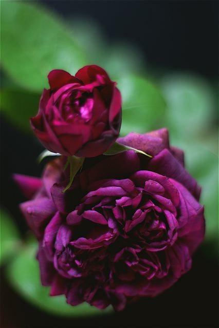 匂いたつ紫色のドレープ……交配を始めました。_e0044929_2029938.jpg