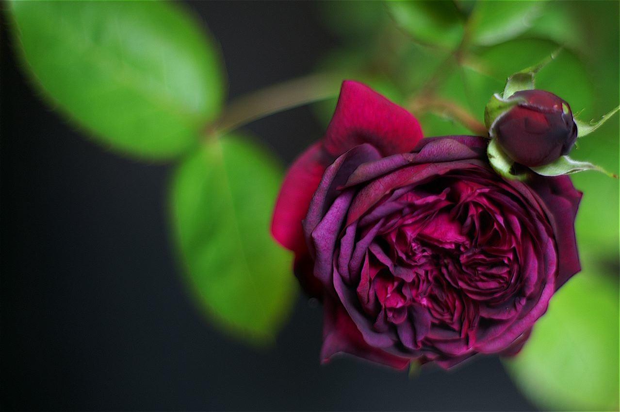 匂いたつ紫色のドレープ……交配を始めました。_e0044929_8563128.jpg