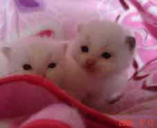 ラグドールの子猫もうすぐ生後3週間_e0033609_23112824.jpg
