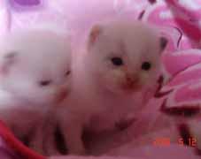 ラグドールの子猫もうすぐ生後3週間_e0033609_23114251.jpg