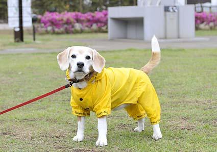 黄色が似合うビーグル_a0070350_133336.jpg