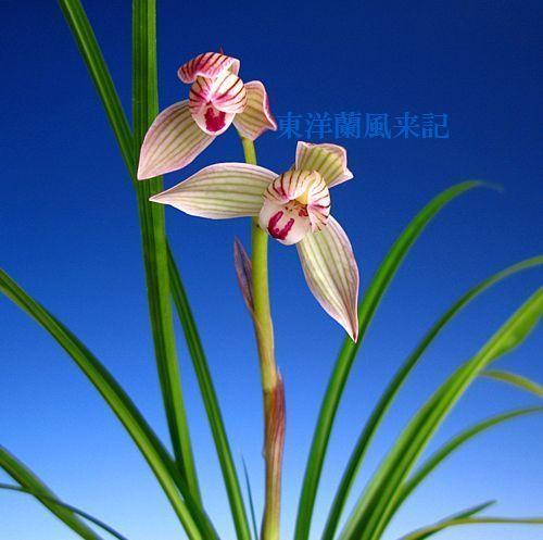 ◆中国蘭奥地蘭蓮弁蘭               No.272_d0103457_043555.jpg