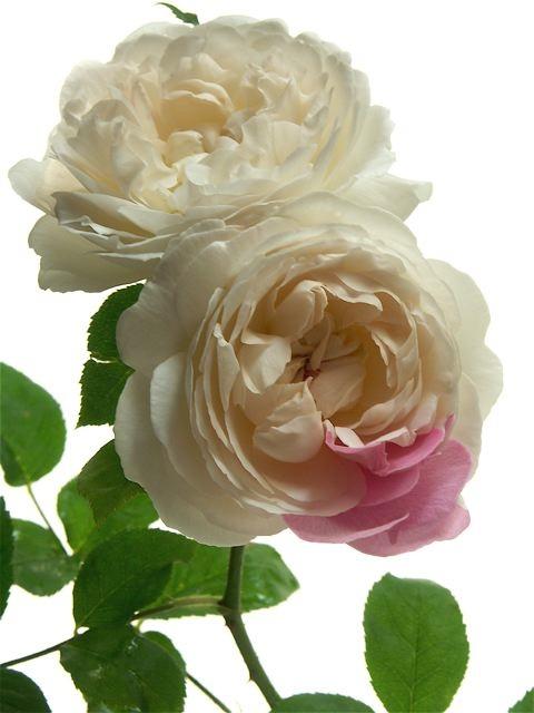 美しきエミリー・ブラント……ジェイン・オースティンの読書会。_e0044929_122943.jpg