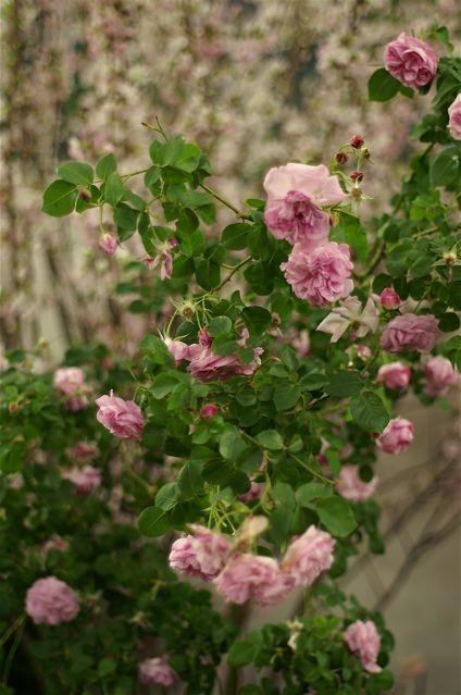 バラ色の10周年……国際バラとガーデニングショウ。_e0044929_23335082.jpg