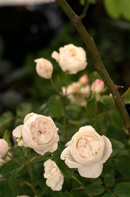 バラ色の10周年……国際バラとガーデニングショウ。_e0044929_23341476.jpg