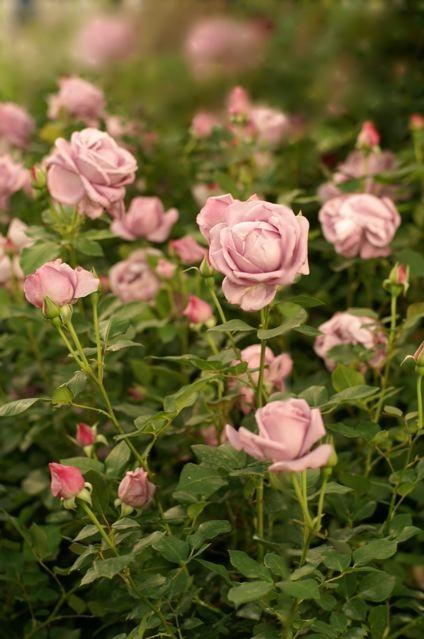 バラ色の10周年……国際バラとガーデニングショウ。_e0044929_23343849.jpg