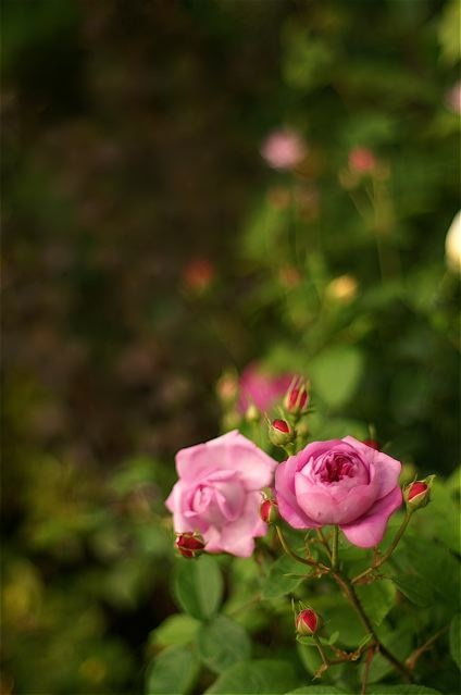 バラ色の10周年……国際バラとガーデニングショウ。_e0044929_2335135.jpg
