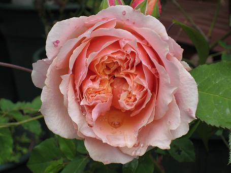 ギヨーのバラたち_e0110038_21202561.jpg