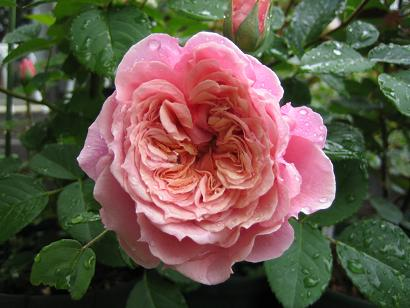 ギヨーのバラたち_e0110038_21215361.jpg