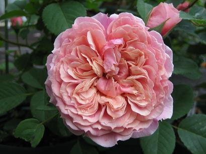 ギヨーのバラたち_e0110038_2124073.jpg