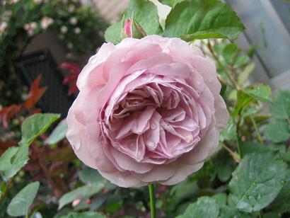 ギヨーのバラたち_e0110038_2124196.jpg