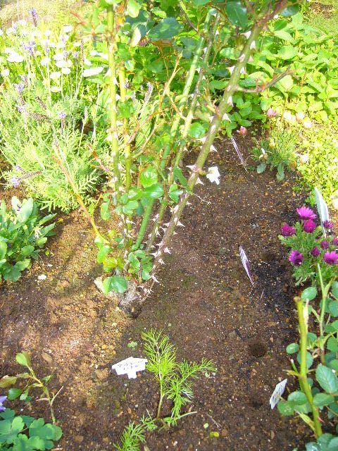 2008年5月14日(水)バラがキョンにやられた~!_f0060461_1046119.jpg