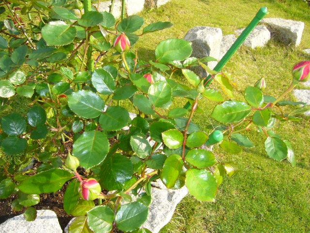 2008年5月14日(水)バラがキョンにやられた~!_f0060461_10511566.jpg