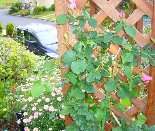 2008年5月14日(水)バラがキョンにやられた~!_f0060461_10521168.jpg