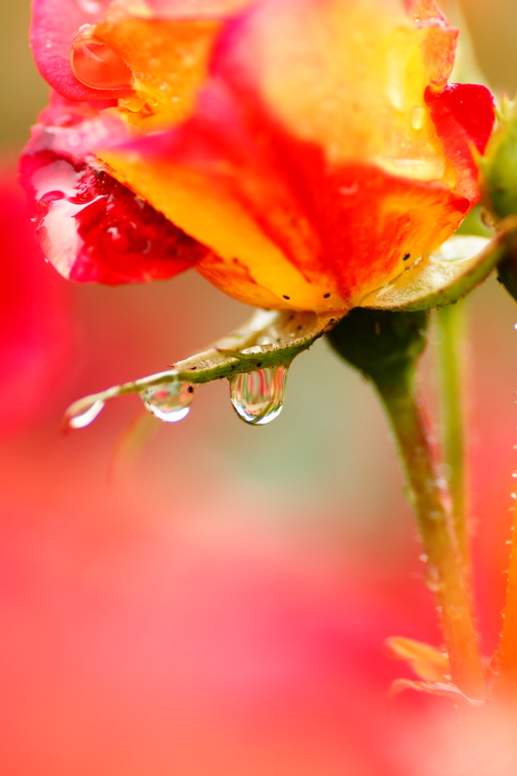 薔薇の雨_e0077521_0101043.jpg